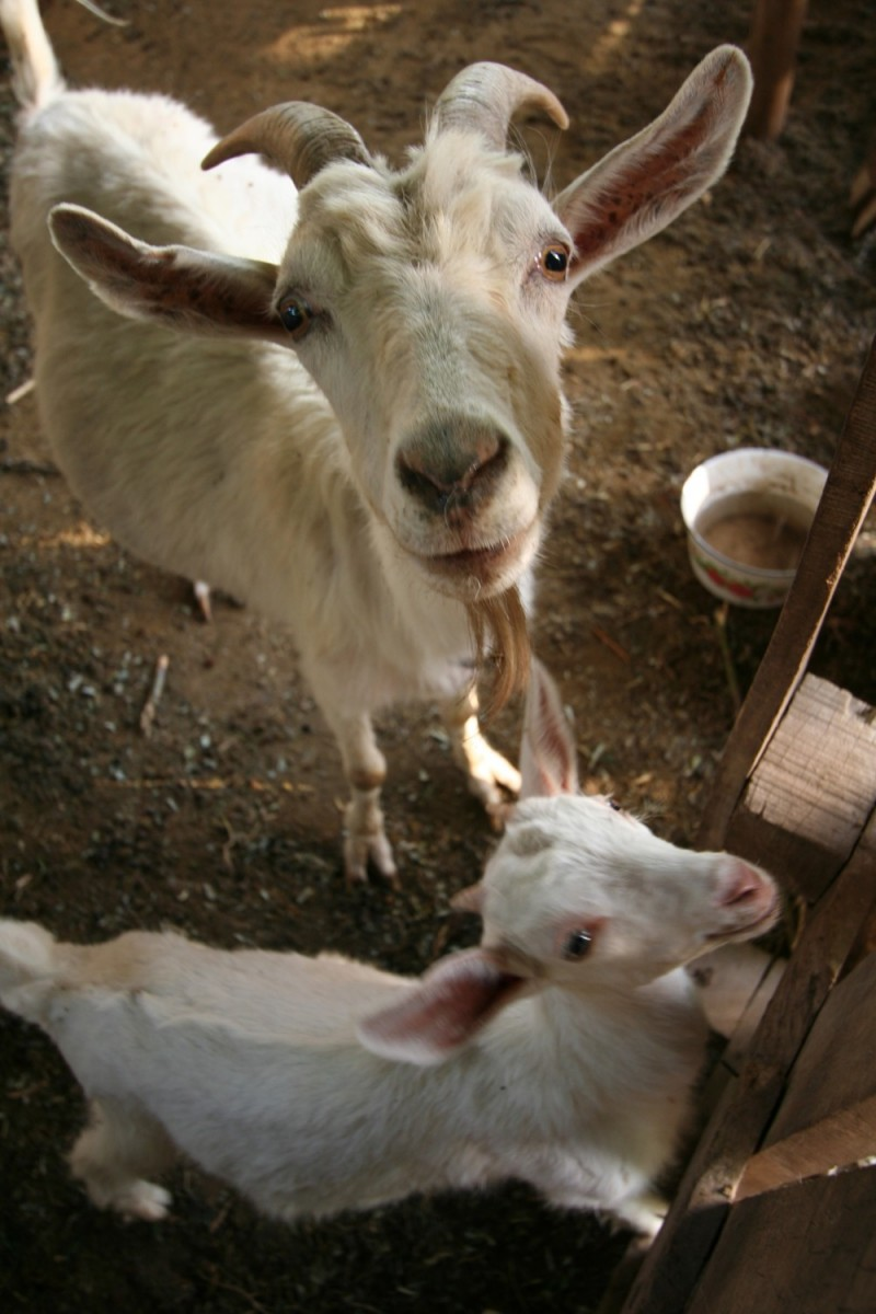 the family goats