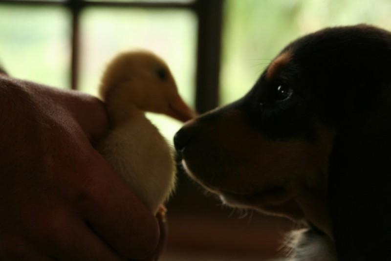 duck meets puppy