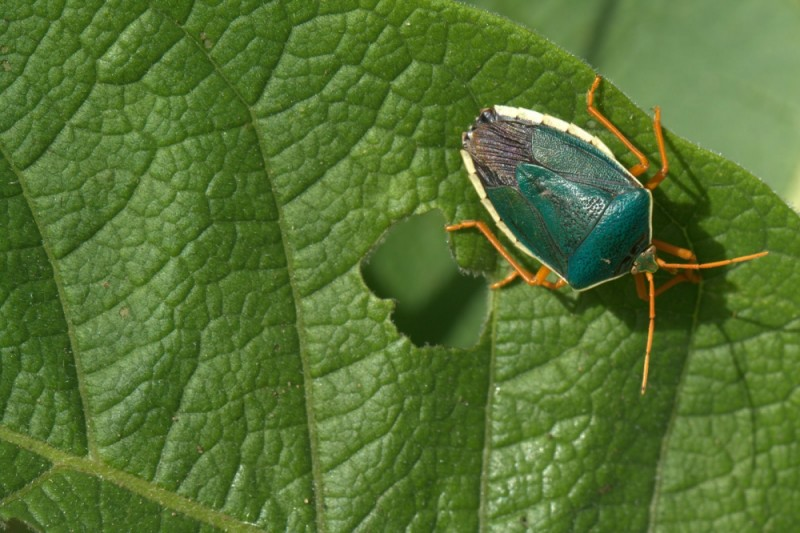 little green insect