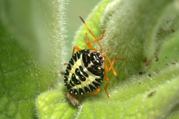 mountain bug