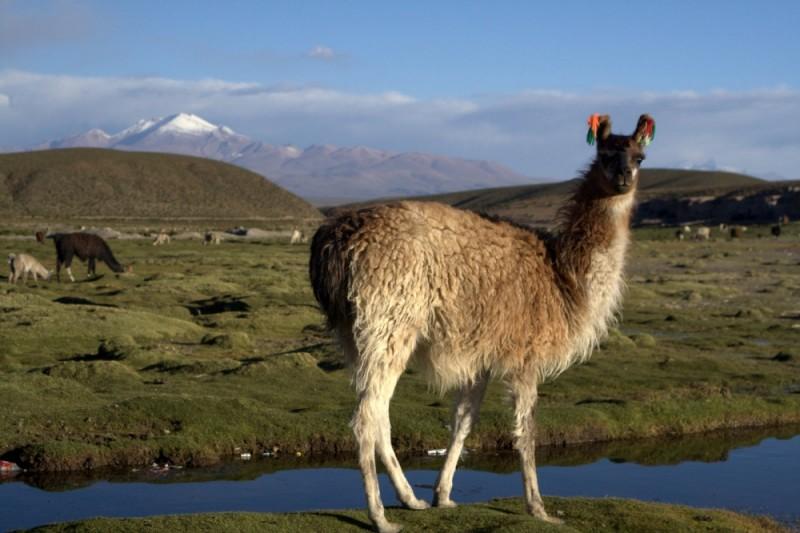 bolivian llama