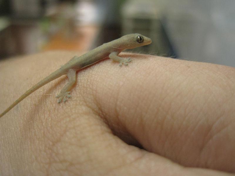 gecko!