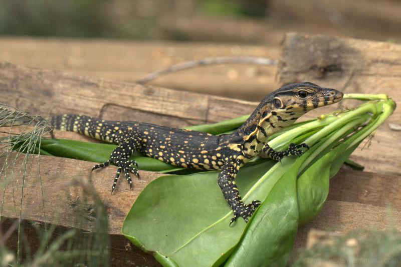 tioman lizard