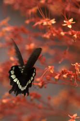 flying, feeding butterfly