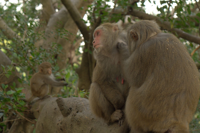 monkey mountain monkeys