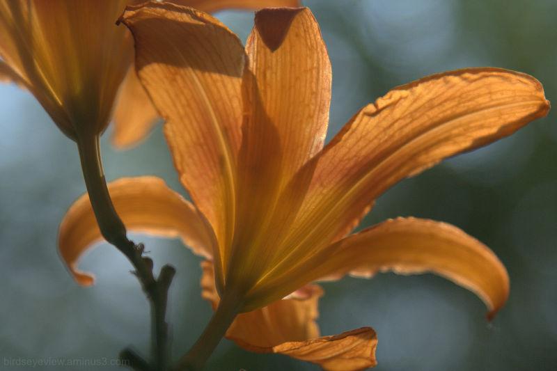 lily undersides