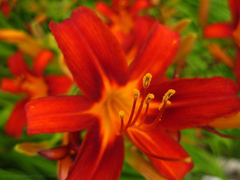 macro shot of a lily