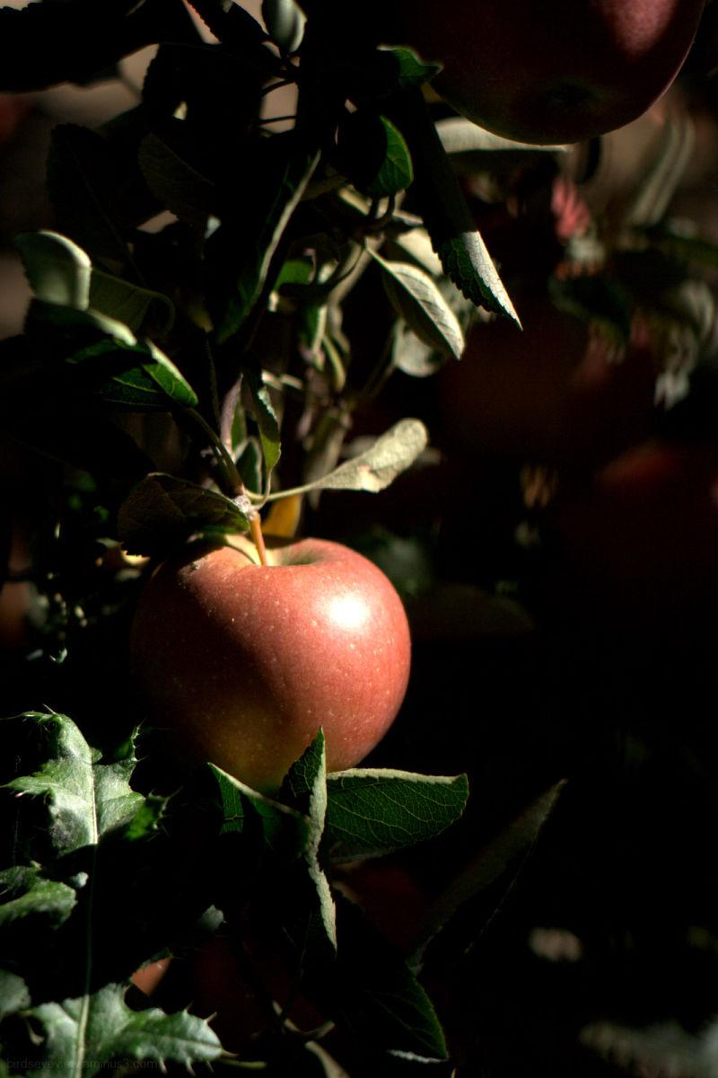 a single apple