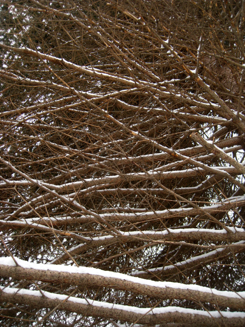 snow-laden branches