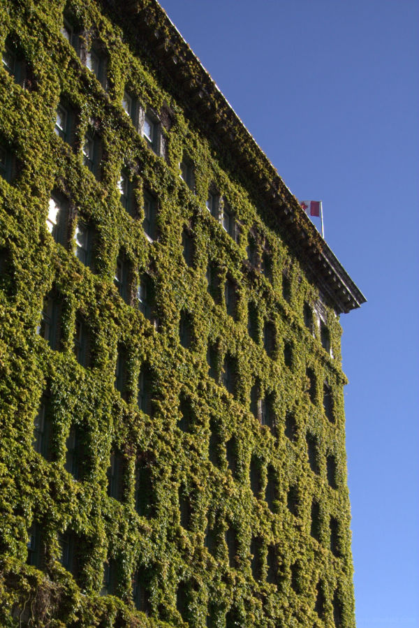 ivy in the downtown