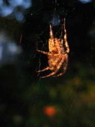 sunning spider