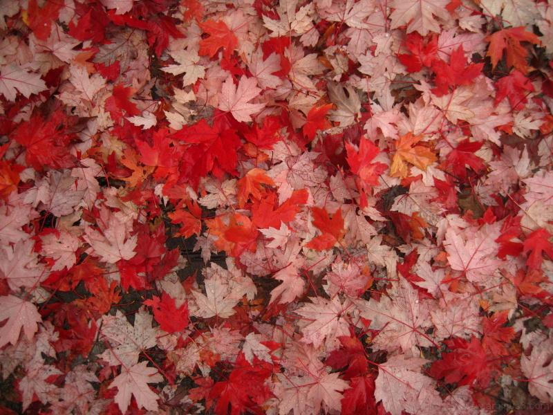 redder and redder leaves