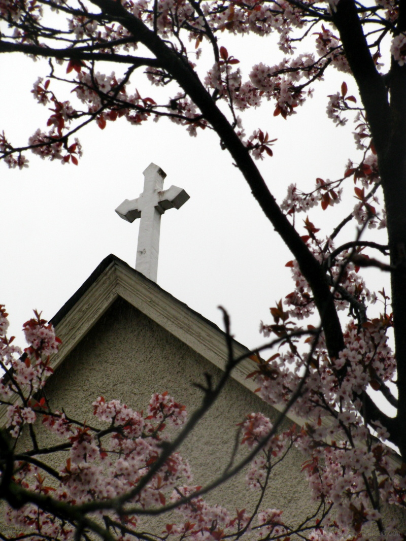church and cherry blossoms