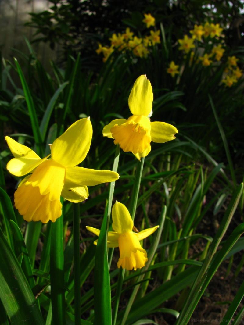 daffodils in the neighbourhood