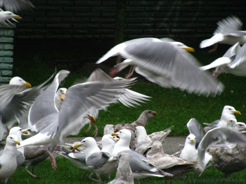 seagull food orgy