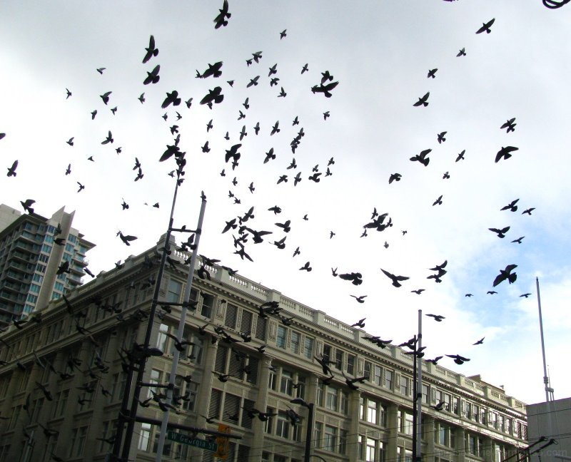 flight of the pigeon