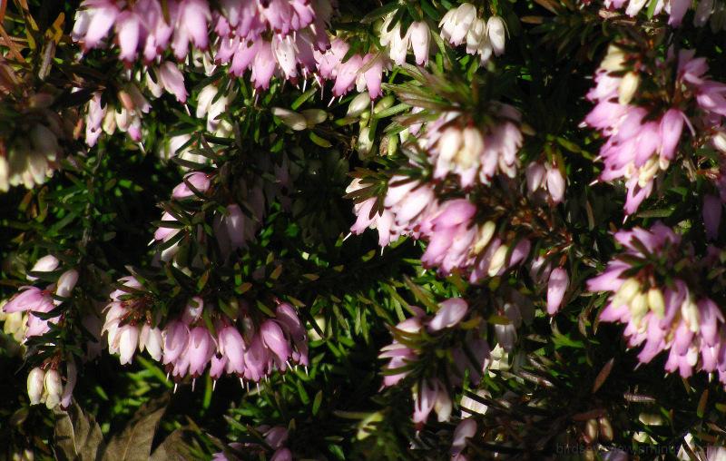 wee pink flowers