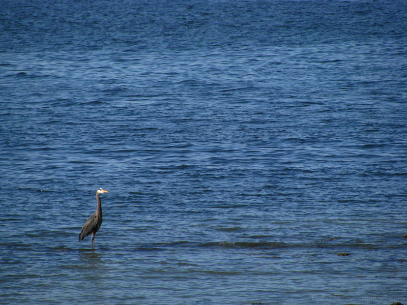 blue heron in blue
