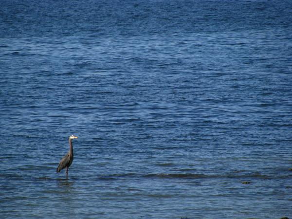 blue heron in blue
