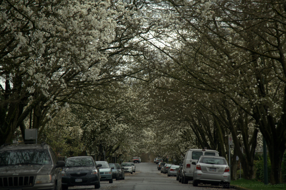 blossom-lined street