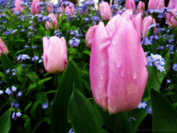 vamcouver tulip