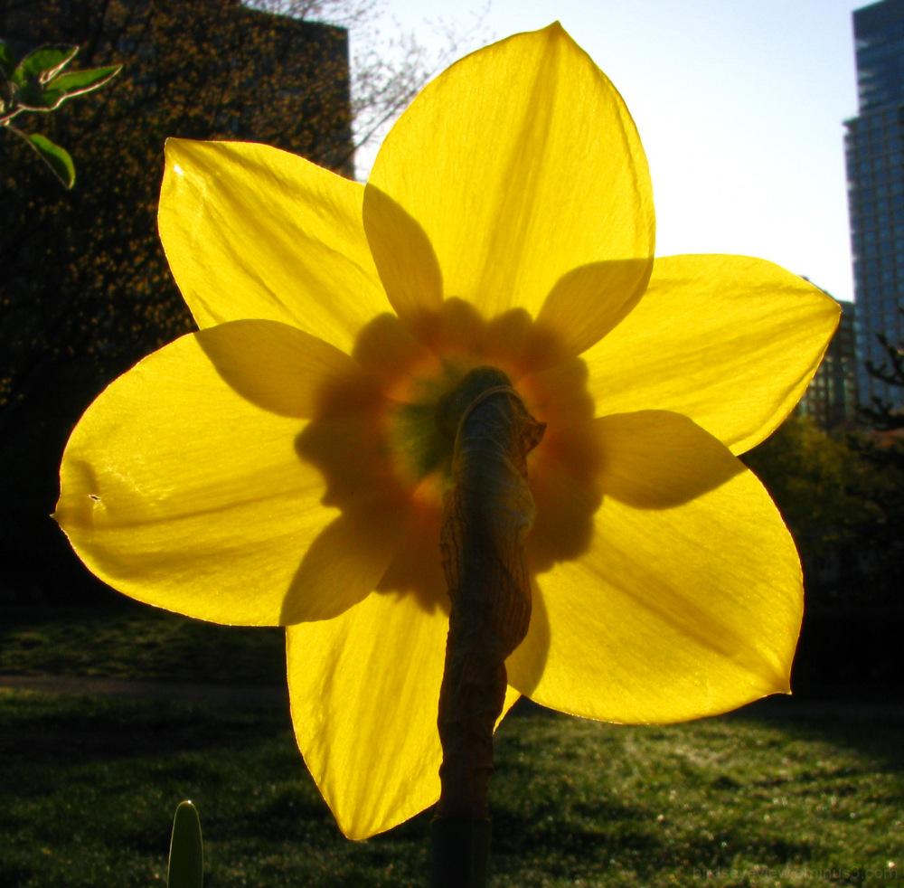 behind the daffodils