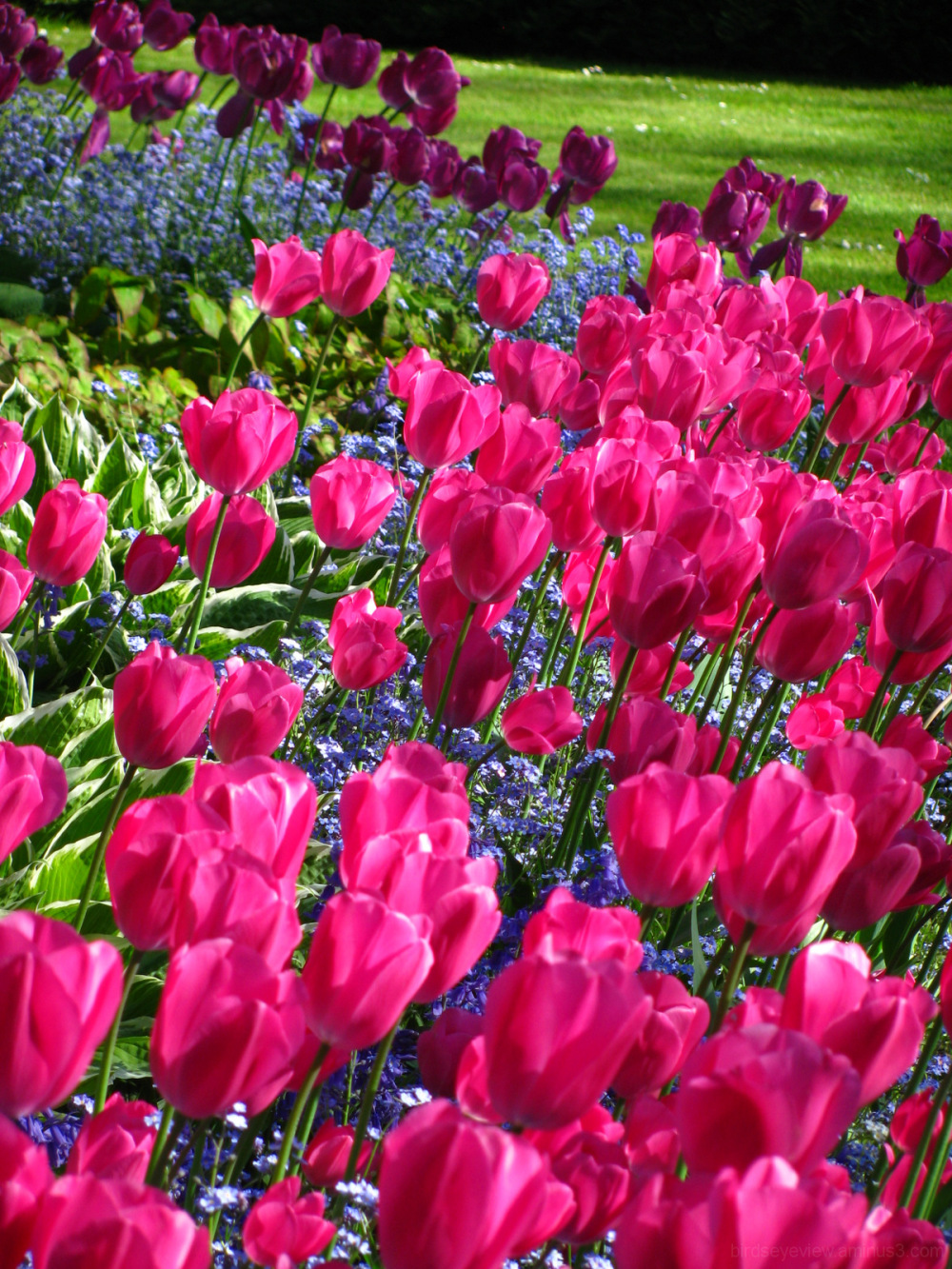 a sea of tulips II