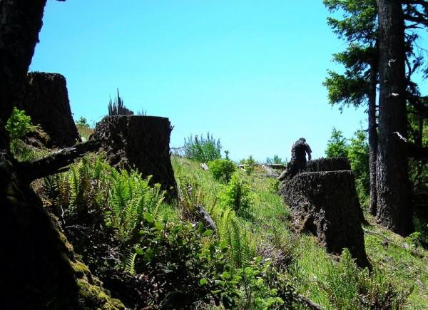 Stumps on Long Ridge in the Mattole