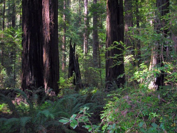 Forest scene at  Grizzly Creek Redwoods State Park