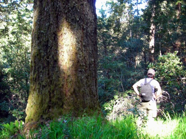 Activists checking out Fir tree in the Mattole