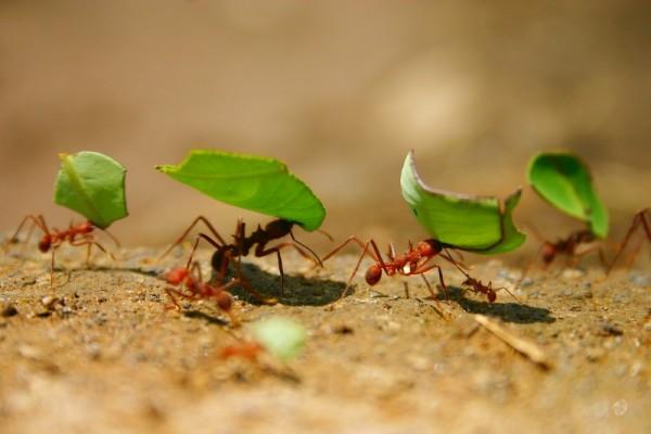 Leaf-cutter ants working hard