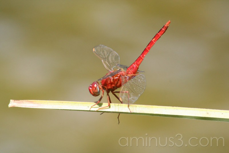 Dragonfly in the Everglades, Florida USA