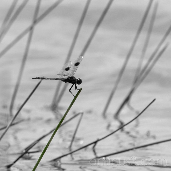Dragonfly in the Everglades, Florida USA (3)