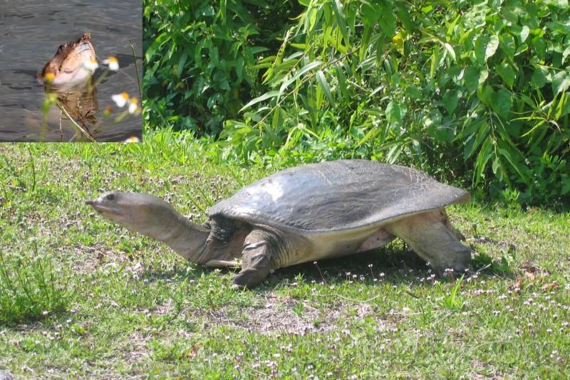 Fresh water turtle, Everglades.