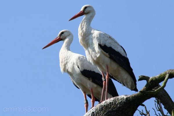 Zwin #9 Stork