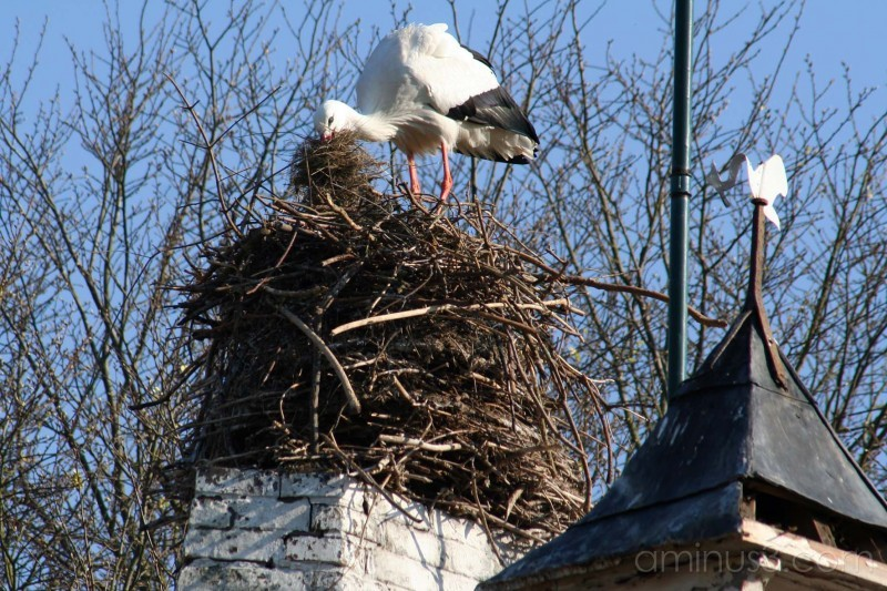 Zwin #10 Building a nest