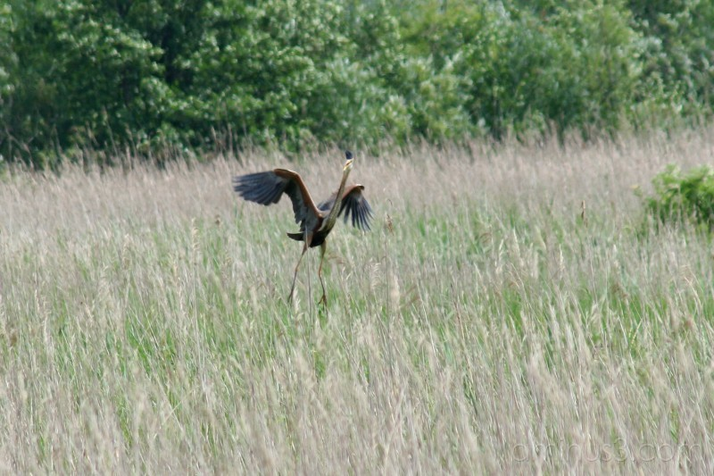 Purple heron #2
