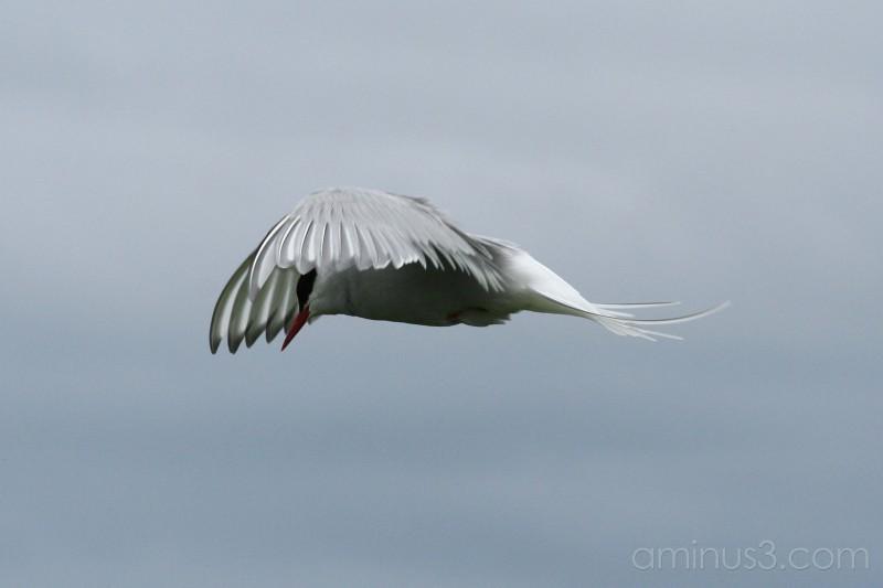 Arctic Tern #2