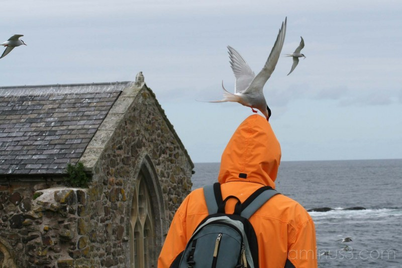 Aectic Tern attack