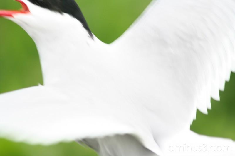 Arctic Tern #5
