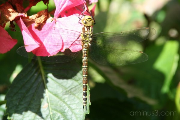 Dragonfly #2