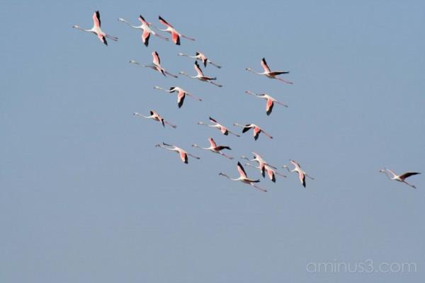 Flamingos in Portugal #2