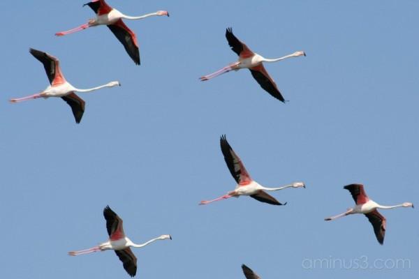 Flamingos in Portugal #3
