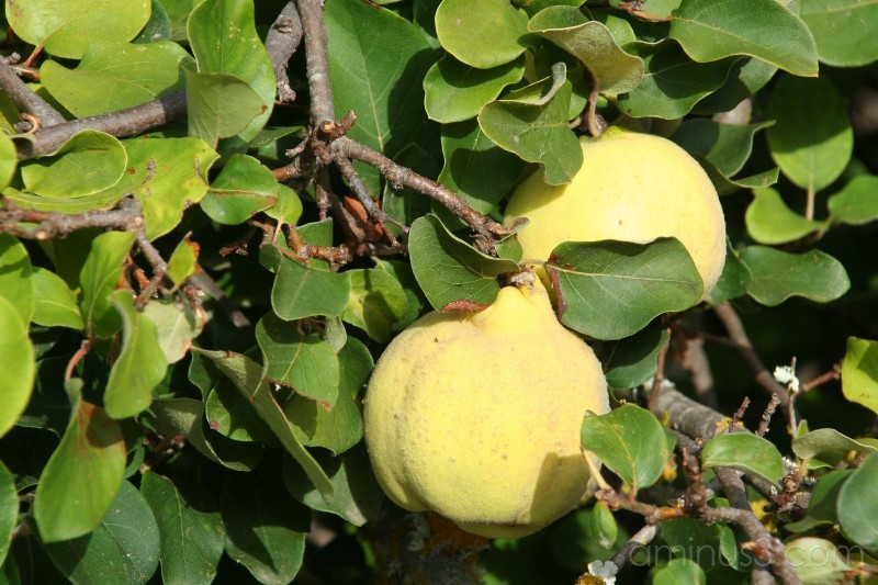 Fruit #1