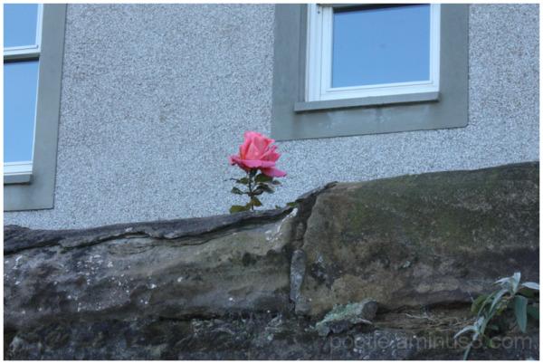 A rose amongst thorns