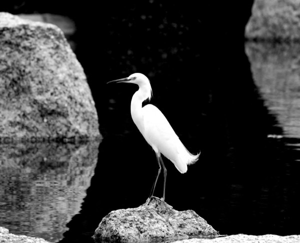 Egret in the Japanese Garden in Houston, TX