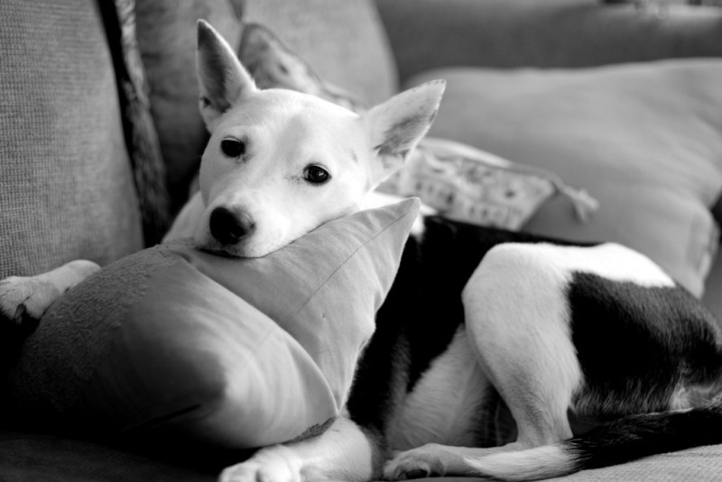 lounging puppy
