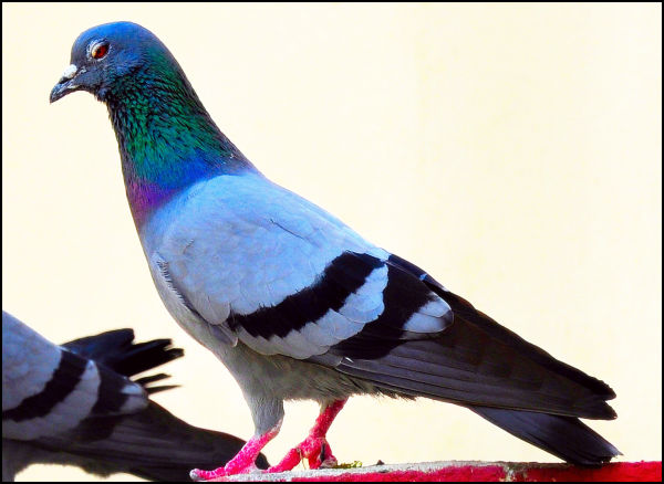 The Pigeon....