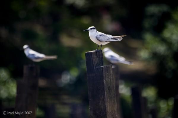 Birds of Kg Ayer