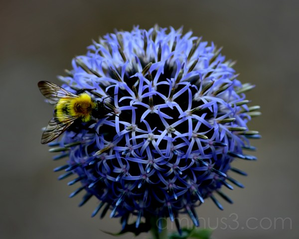The Bee and The Blue